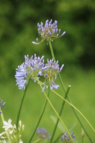 l-39-agapanthe-est-une-plante-qui-s-39-associe-tres-bien-a ...