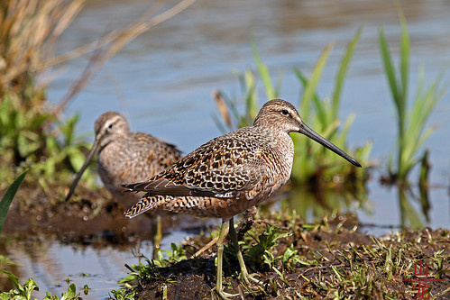 Short-billed Dowitcher (Limnodromus griseus) | by DragonSpeed