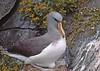 Chatham Albatross by Linrod