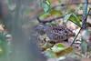 Madagascar Buttonquail, Ankarafantsika NP, Madagascar by Terathopius