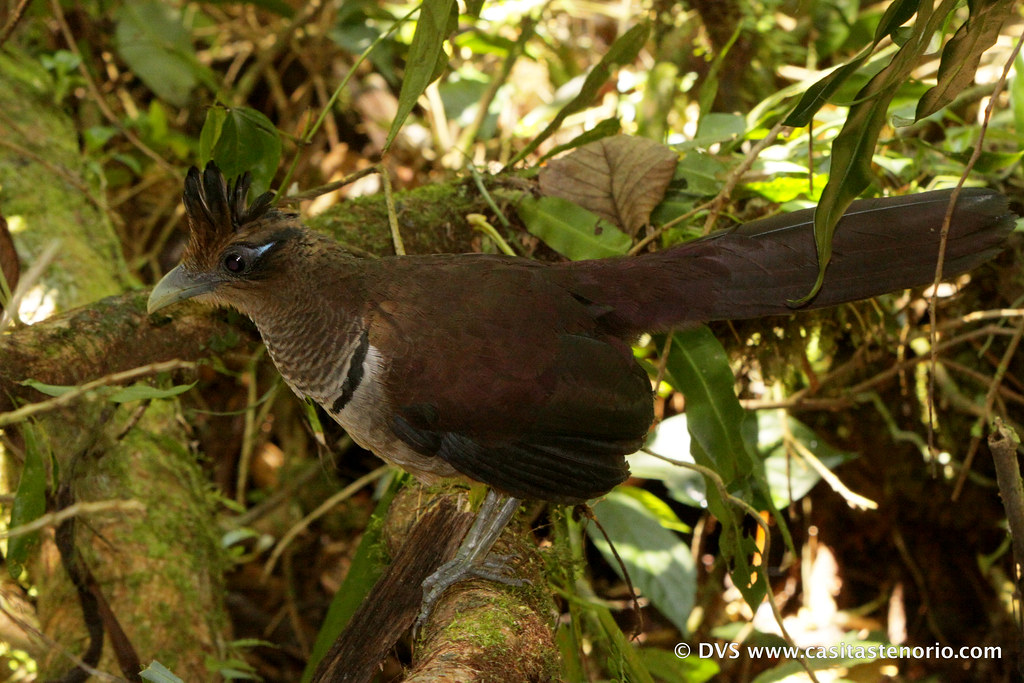 Rufous Vented Ground Cuckoo, Neomorphus geoffroyi