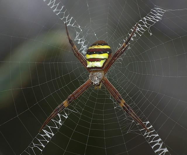 Spider with nice pattern