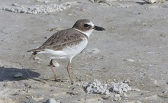 Wilson's Plover, Honeymoon Island Causway, FL