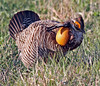 Lesser Prairie Chicken by Geary County Convention and Visitors Bureau