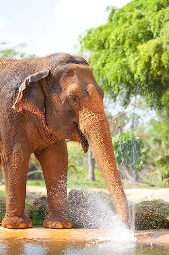 Elephant playing with water | by Evan Animals