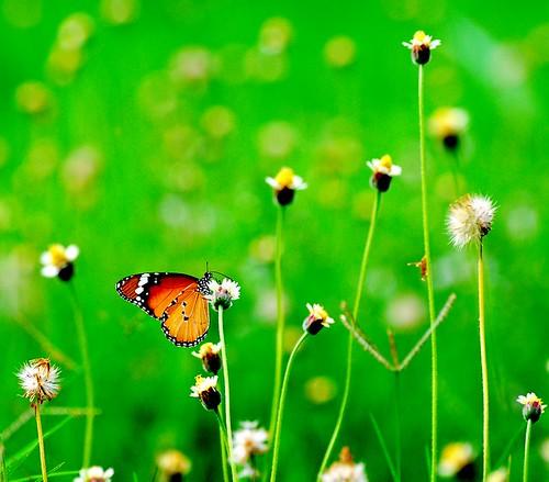 butterfly kerala plaintiger arayil danaschrysipus