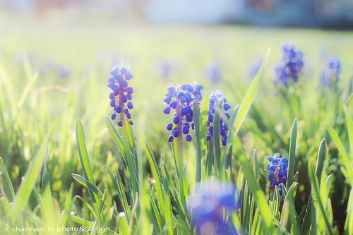 sunlight flower floral spring glow purple fresh springtime grapehyacinth