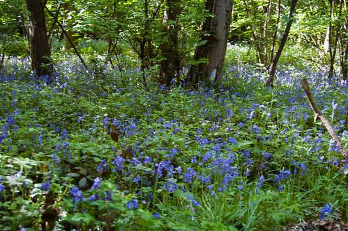 Woodland bluebells