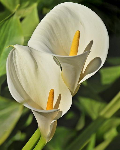 Calla lily duo