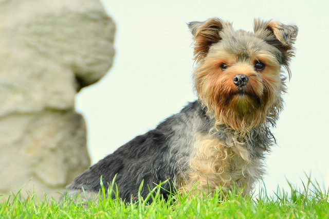 Yorkshire Terrier Capri Looks Out For Rabbits ... Capri Has Now Passed On To Heaven 6th June 2011, Aged 3 And Life Is Not The Same Anymore ...
