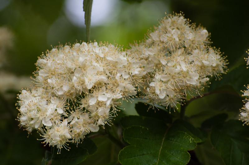 Rowan flowers