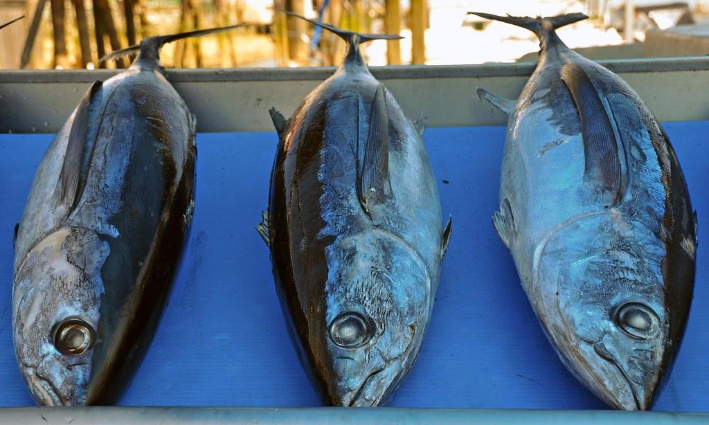 wild planet wild albacore tuna