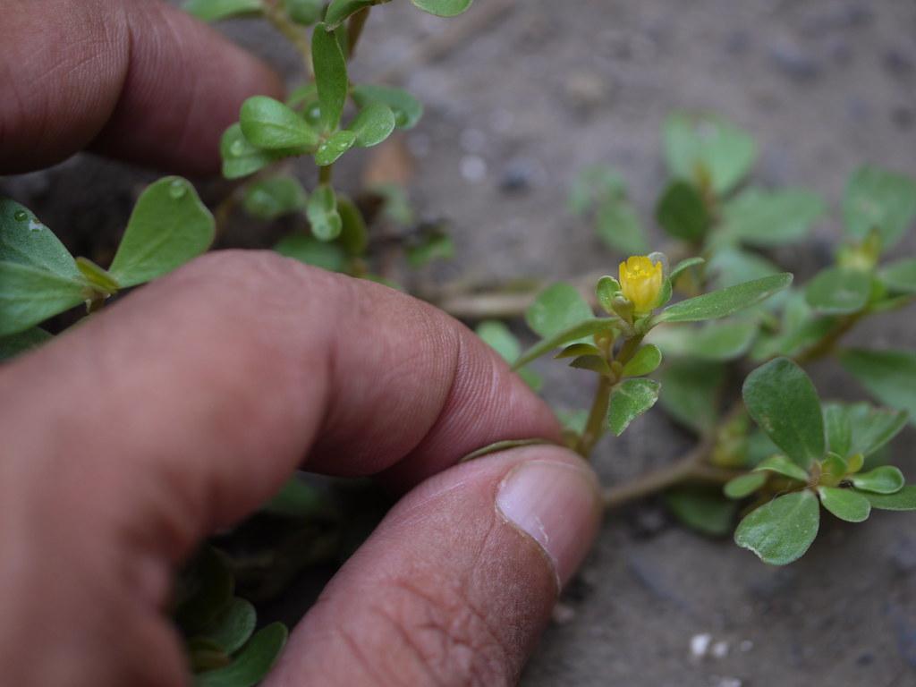 Ghol (Marathi: घोळ)   Portulacaceae (moss rose family) » Por