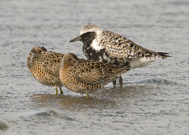 Long-billed Dowitchers-Black-bellied Plover