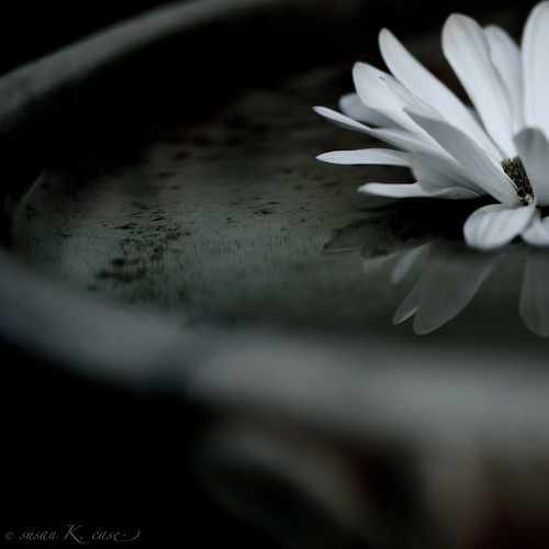 macro reflection birdbath daisy