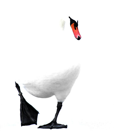 bw white black swan