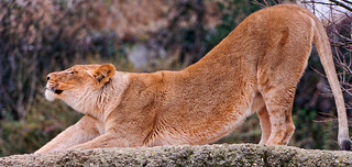 Stretching lioness | by Tambako the Jaguar