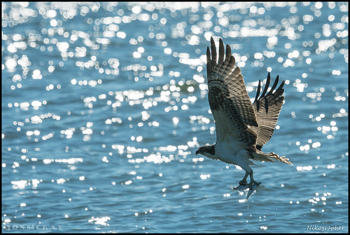 Juv. Osprey Hunting @ Cape May NJ | by Nikographer [Jon]