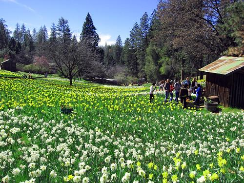 california county sun volcano spring hill daffodil april amador 2011