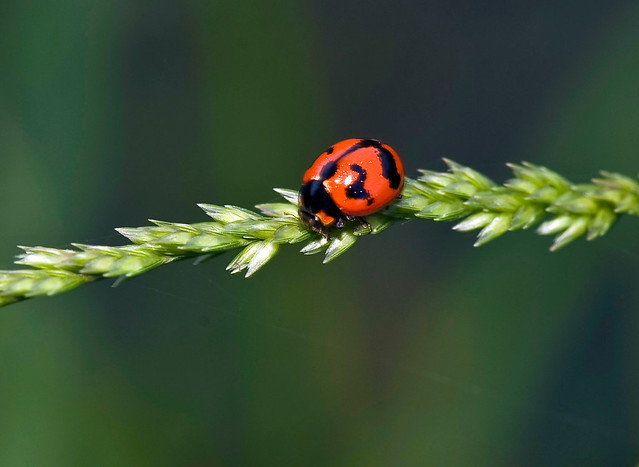 Thai Ladybug On Grain Head, Coccinellla transversalis