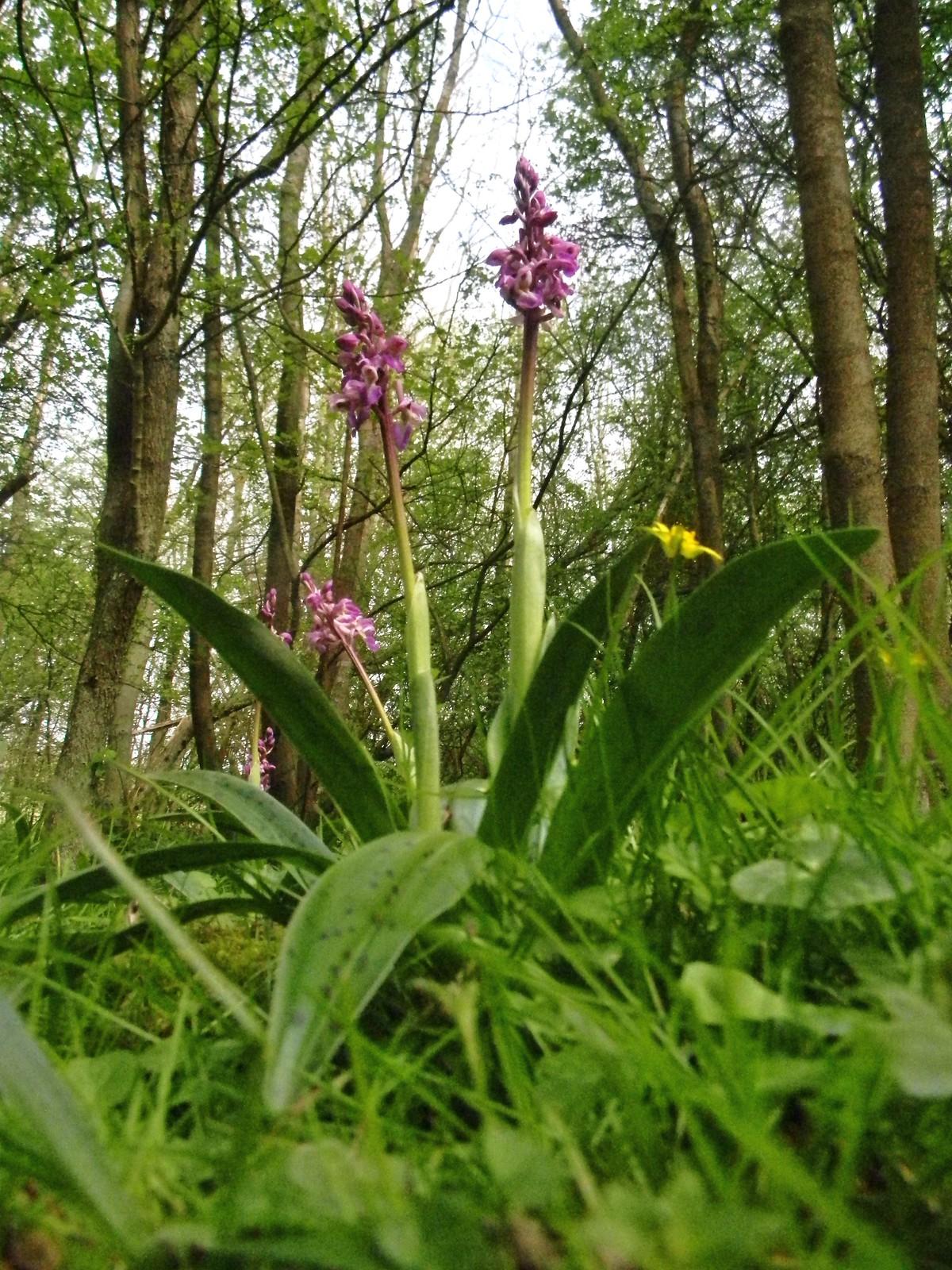 Early Purple Orchid Yalding to Sevenoaks