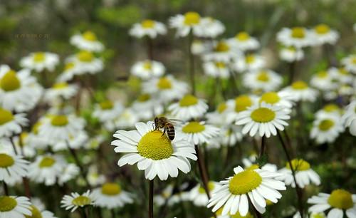 spring bee daisy bahar arı papatya