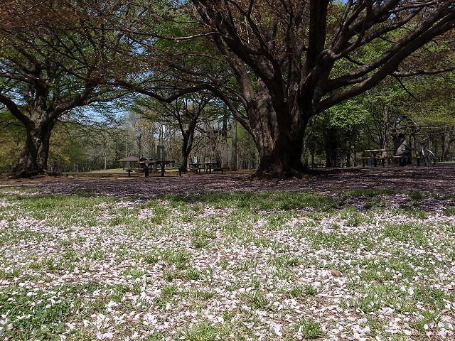 <p>g)桜の花びらが一面</p>