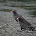 Flickr photo 'Turkey Vulture (Cathartes aura)' by: hermmays.