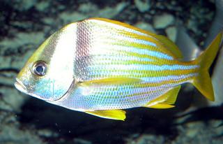 Adult porkfish   by keywest aquarium