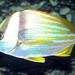 Adult porkfish