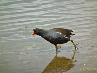 Moorhen | by P. Stubbs photo
