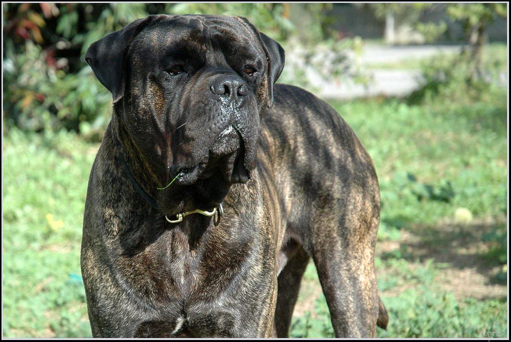 Dog Bullmastiff כלב בולמסטיף David Miron S Dog Simon
