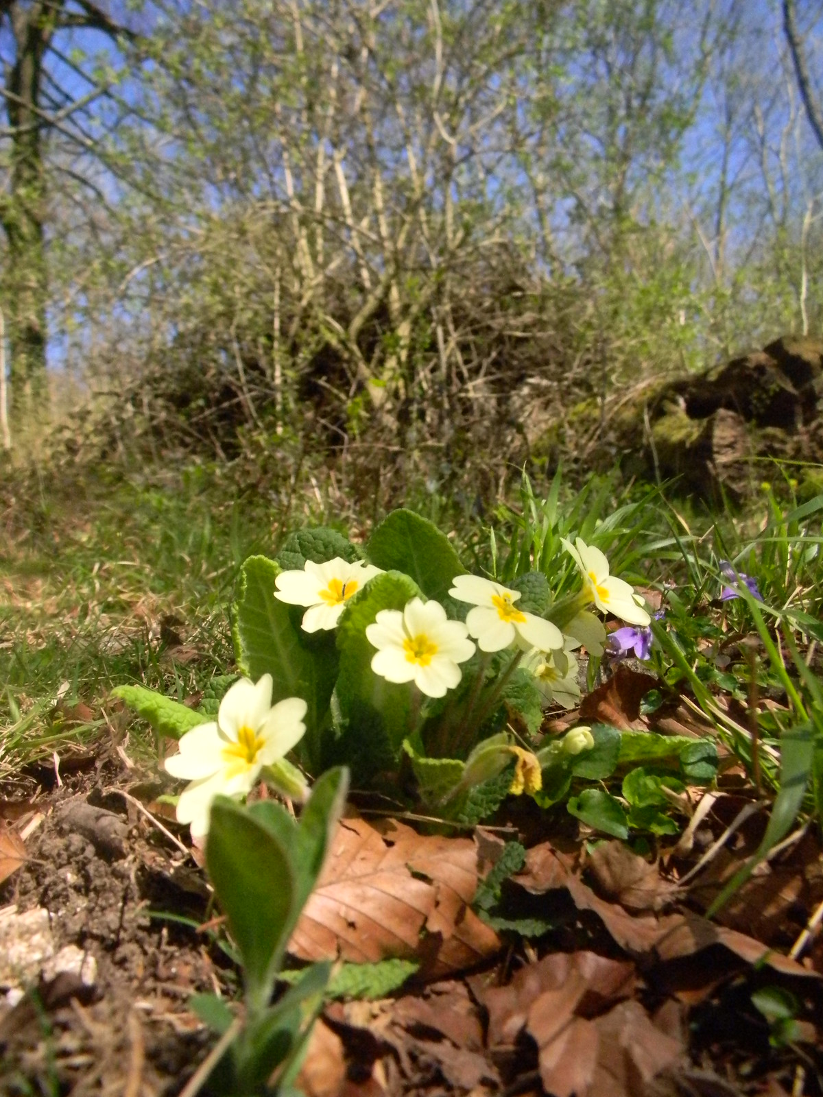 Primroses Petersfield to Liss