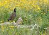Black Francolin (Francolinus francolinus) by jonnobird (Catching up after Cyprus)