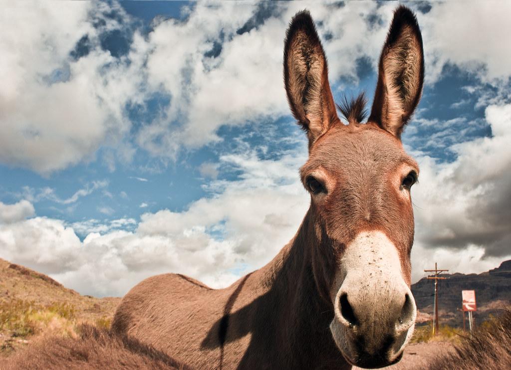 Portrait of a donkey | Oatman, AZ | Keoki Seu | Flickr