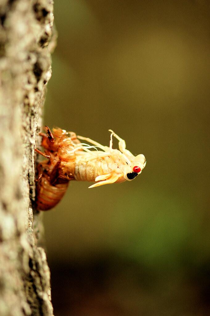 cicada emerging4