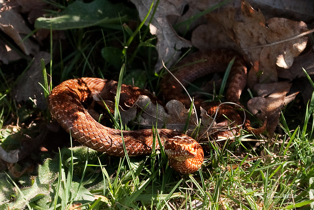 close encounter of the adder kind