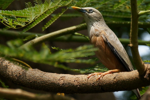 Chestnut-tailed Starling | by Earthshine..