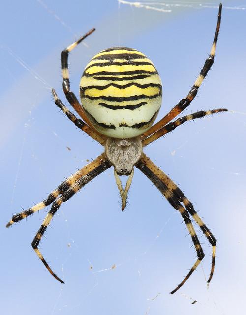 Wasp spider ( Female)  (Argiope bruennichi ) OTHER PICTURES BELOW.