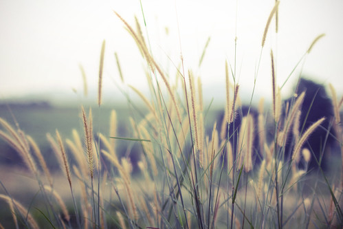 sunlight nature grass canon landscape 50mm evening weeds warm soft afternoon dof bokeh pastel wildflowers wilderness creamy ssc fd 550d jonggol