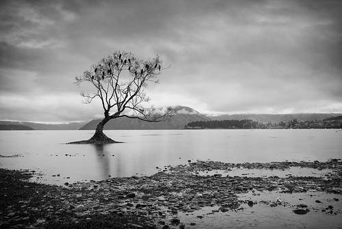 newzealand lake tree nz lone wanaka canonblackwhite