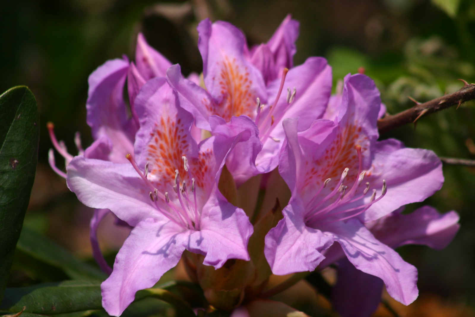 Rhododendron is a nice flower