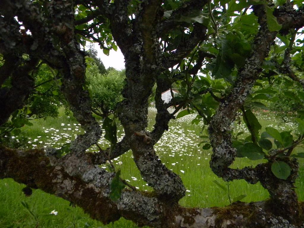 Lichen on applle tree Grey's Court, Shiplake to Henley