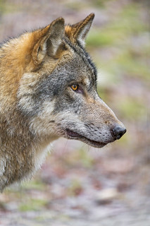 Wolf profile portrait   by Tambako the Jaguar