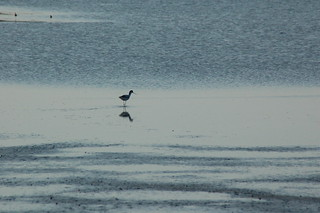 [birdwatching in Valle Baiona] Avocetta | by Alessandra Farabegoli