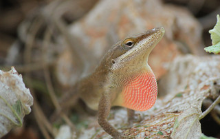 Brown Anole Lizard   by GalgenTX