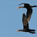 Flickr photo 'Double-crested Cormorant (Phalacrocorax auritus)' by: Mary Keim.