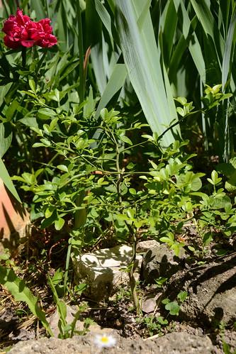 Citrus trifoliata (= Poncirus trifoliata) - Page 2 32041284471_dd516a86bf