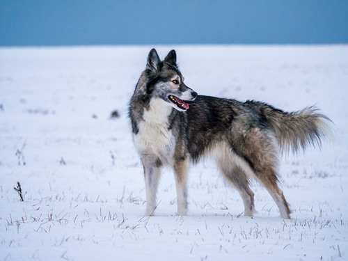 lonely wolf ;-)