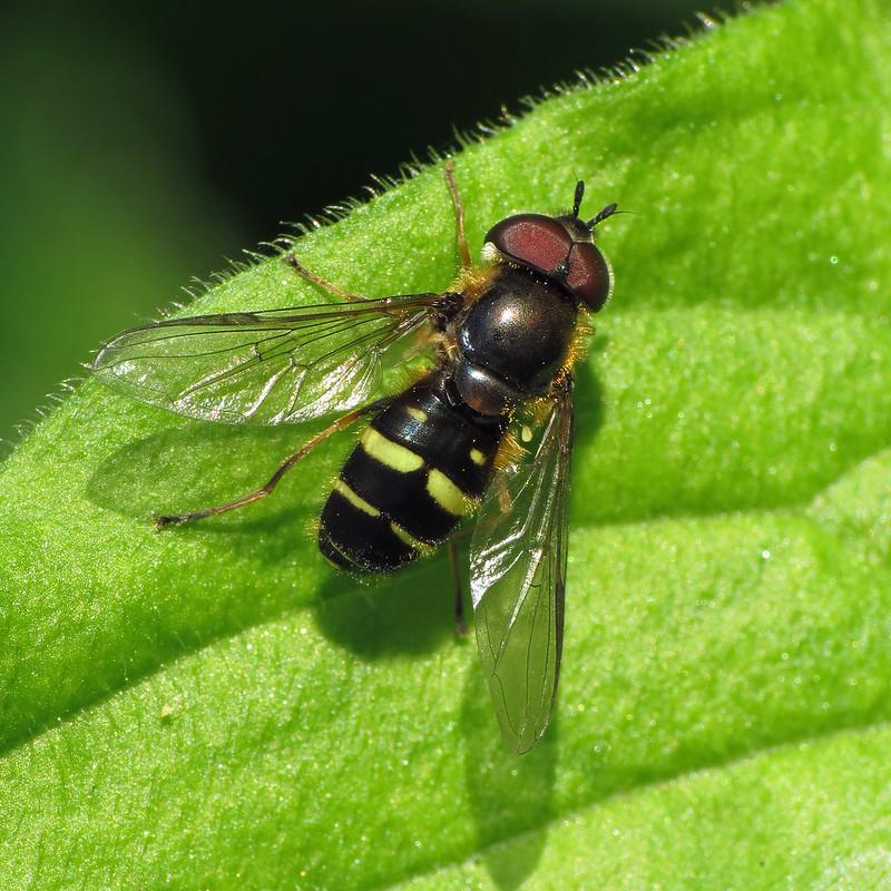 Hoverfly - Dasysyrphus tricinctus
